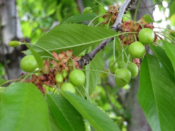Cherries. We grow Bing and Rainier varieties, both  of which originated in the Pacific Northwest.