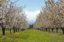 Cherry Blossoms Thumbnail