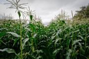 Oregon corn field photo by Andrew Malone.