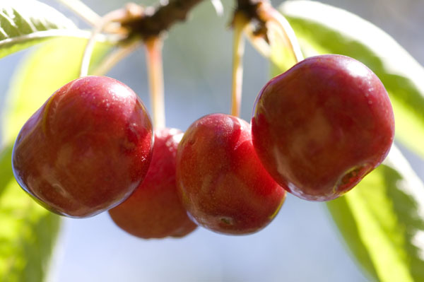 Rogue Farms bing cherries. The bing variety was developed right here in Oregon.