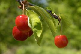 Cherries thumbnail