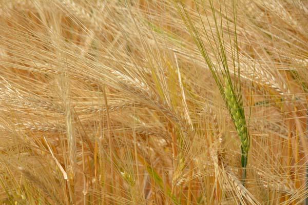 barley color