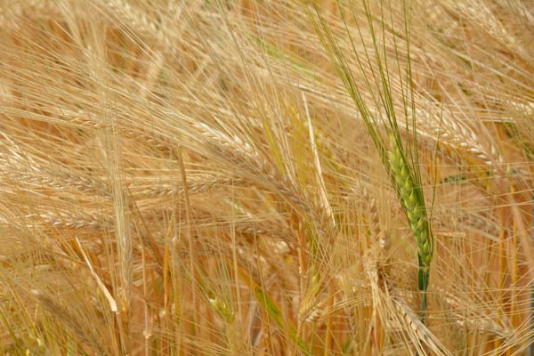barley color