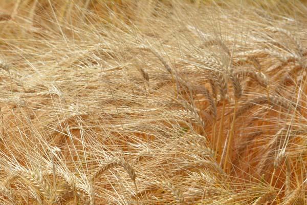barley droop