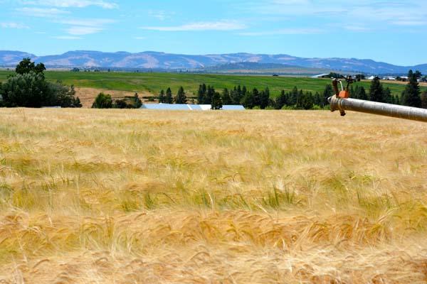 barley moisture