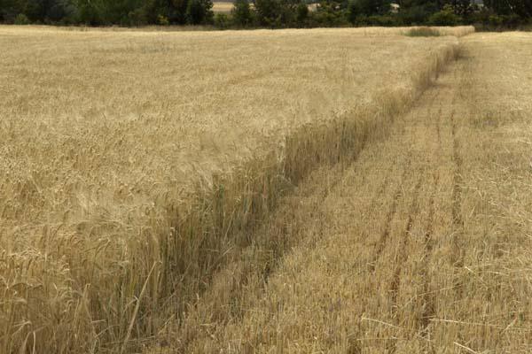 Barley Test Cut