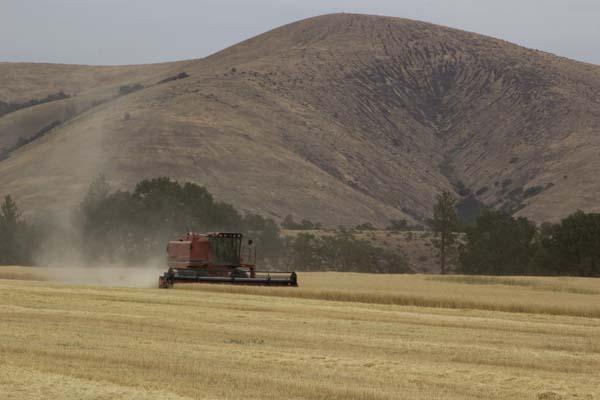 Combine in barley field