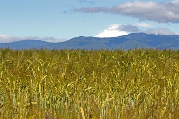 Rogue Farms Dare Barley