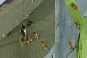 honeybees thumbnail