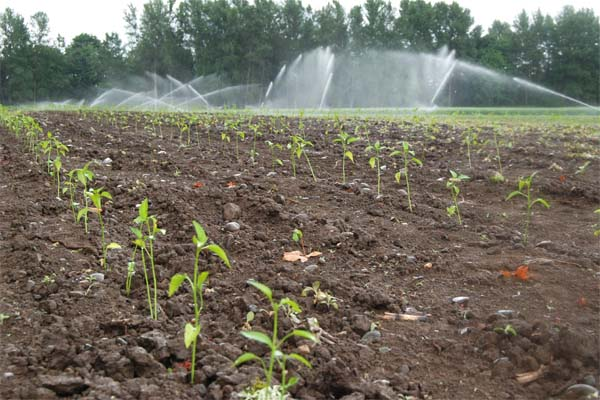 Our field of jalapeños after we're done planting. In the background you can see we're watering our wheat field.