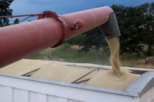 Loading grain into truck