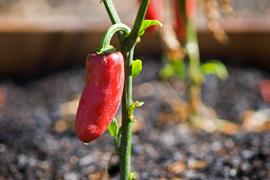 pepper thumbnail