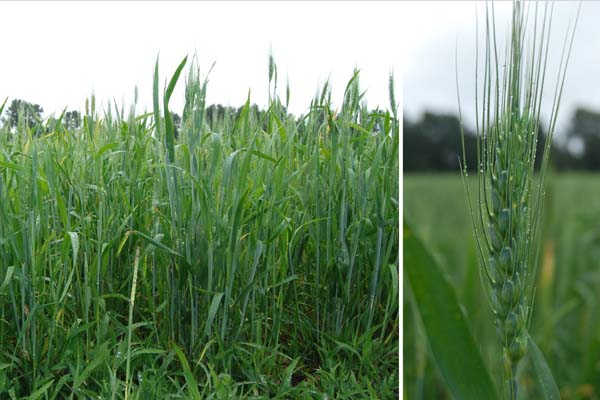 Wheat June