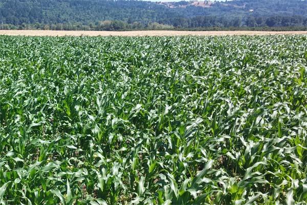 Wigrich Corn