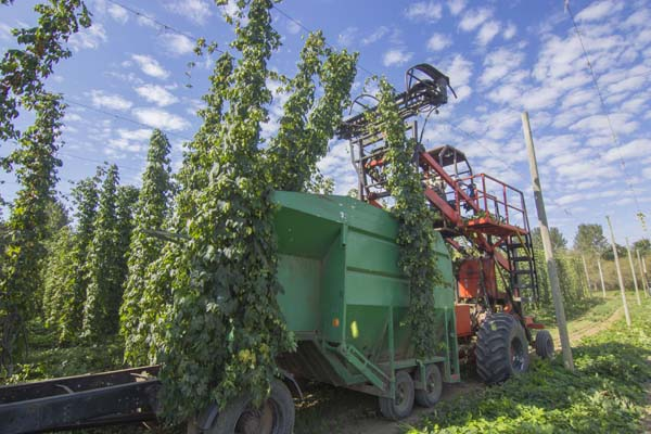 The harvest begins as we cut the cone filled bines off the trellis wires.