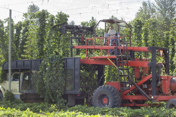 The start of the 2014 hop harvest at Rogue Farms.