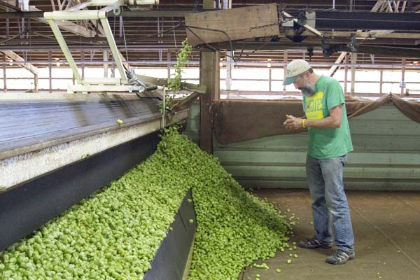 John at the harvest of Freedom hops. John is blending Freedom and Yaquina hops for this year's  batch of Wet Hop Ale.