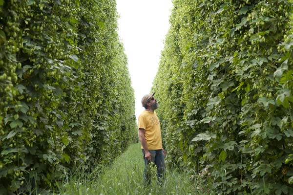 From last year's harvest. John in the rows of Freedom hops, picking out what he'll use to brew Wet Hop Ale.