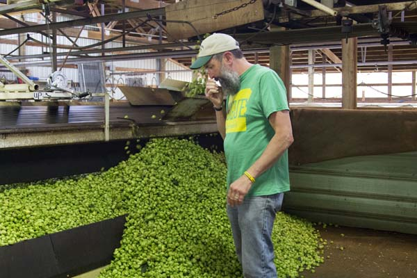 Here's John sniffing the Freedom cones before they are dried.  John selected 1,000 pounds of freshly picked Freedom hops and drove them back to the Brewery in Newport to use them to brew this year's batch of Wet Hop Ale.
