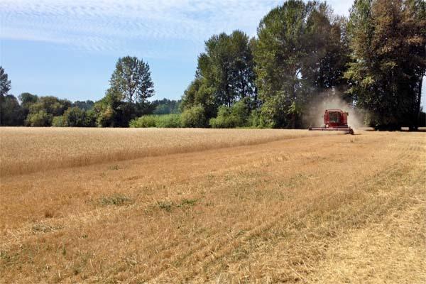 Wheat Harvest August 2014 1