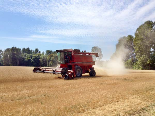 Wheat Harvest August 2014 3