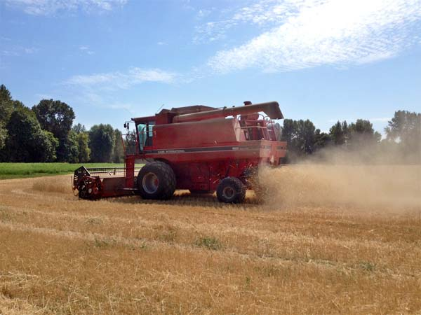 Wheat Harvest August 2014 5
