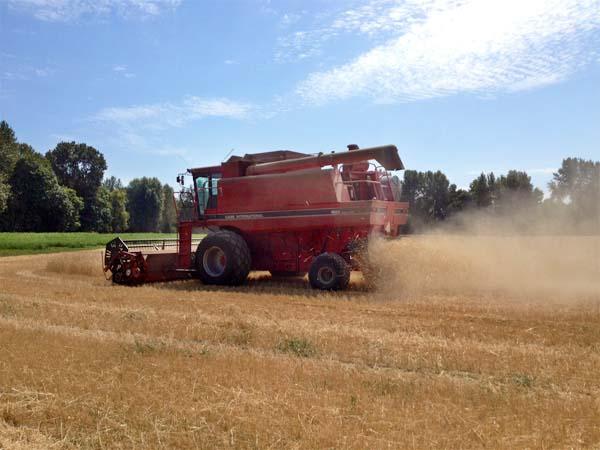 Wheat Harvest August 2014 5
