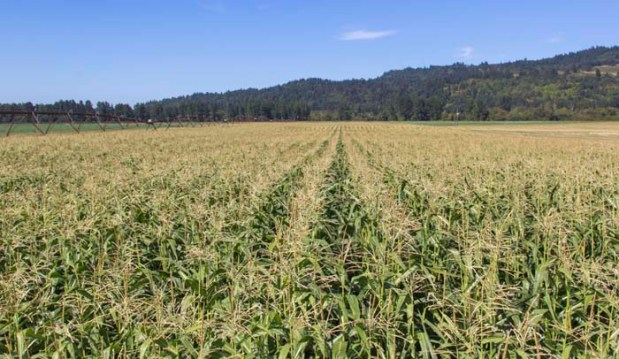 Our corn has reached the milk stage and needs another couple of weeks to dry before we pick it by hand.