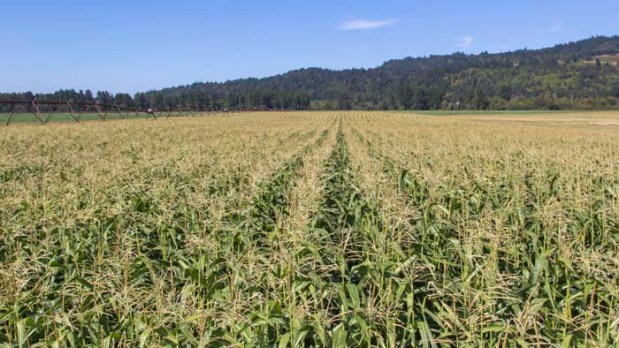 Field of Corn 2