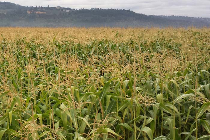 Our four acres of Wigrich Corn on harvest day.