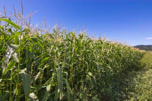 High Corn