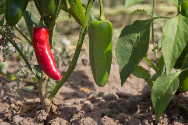 Unlike our other crops, jalapeños don't ripen at the same time. We'll wait until the peppers are dark red to pick them, because that's when they're best to use in Chipotle Ale and Chipotle Spirit.