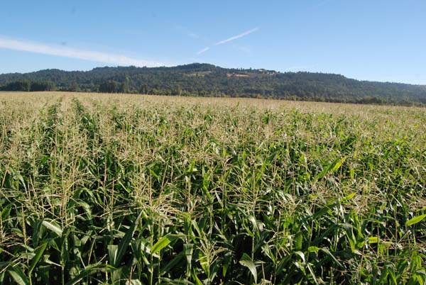 Our 4-acre field of Wigrich sweet corn.