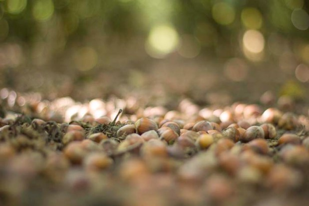 The Kirks wait until about two-thirds of the nuts have fallen before they start the harvest.