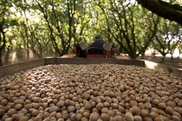 The harvest complete, the hazelnuts go to the Kirk's processing facility where they are cleaned and dried.