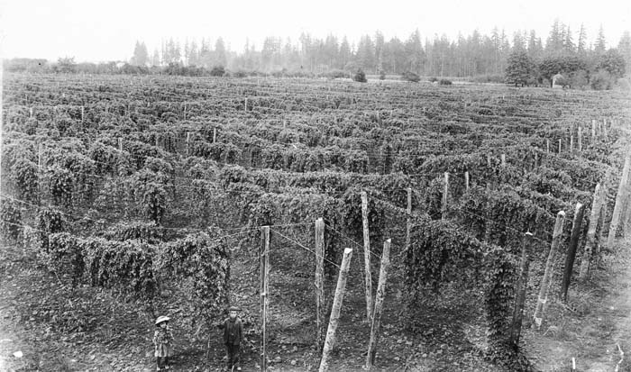 A Willamette Valley hopyard in 1900. From Oregon State University.