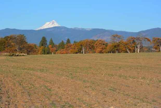 Small shoots of Risk™ emerging in one of our fields in the rain shadow of Mt. Hood.