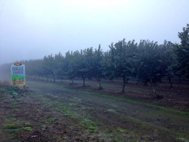 The hazelnut orchard.