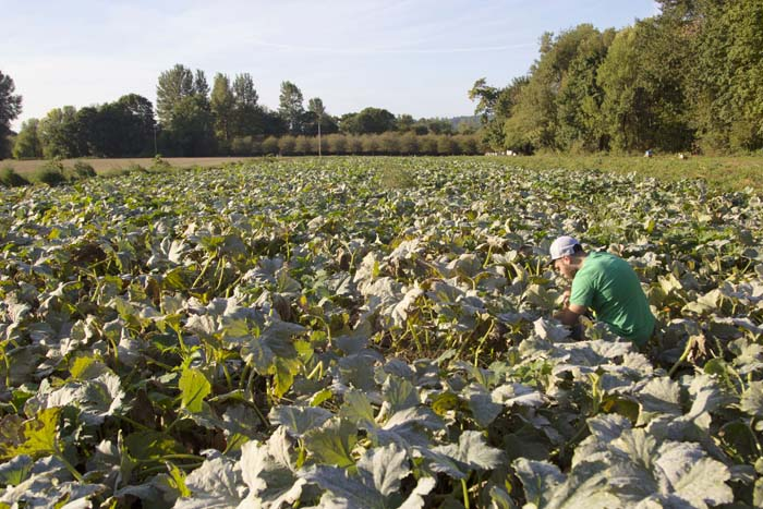 Man on a mission. Rogue Soda Jerk Steve in our four acre patch of Dream Pumpkins.