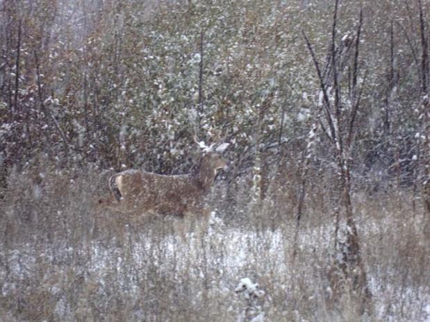A deer tiptoes silently through the woods near our Farmstead Malt House.