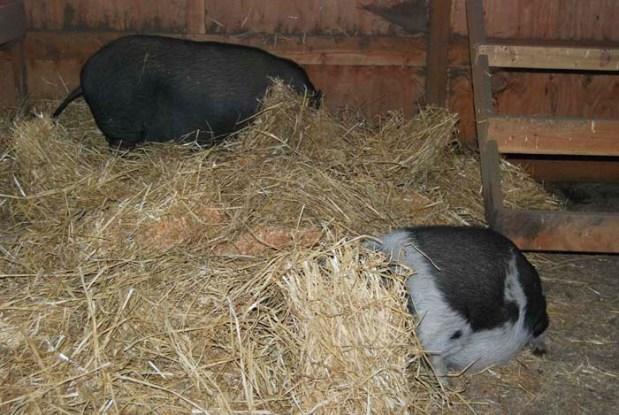 piggies hiding_111914_019