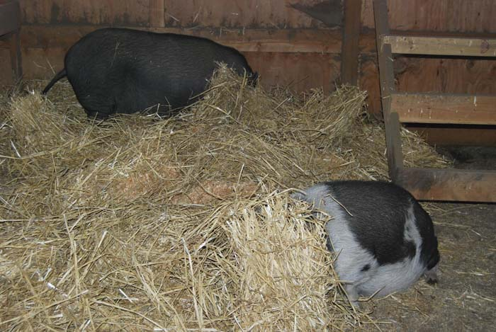 piggies hiding_111914_019