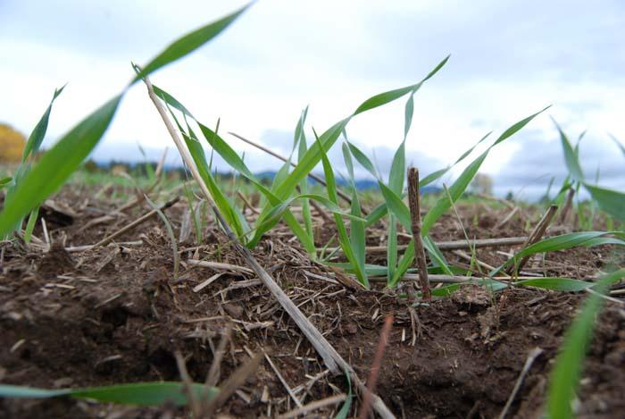 Spring Barley 2