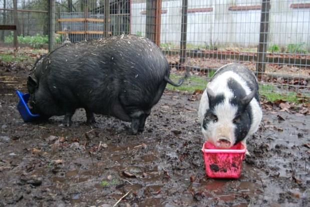 Happy as pigs in mud, Voo and Doo are enjoying the weather. When it gets too cold, they'll head back inside their pen.