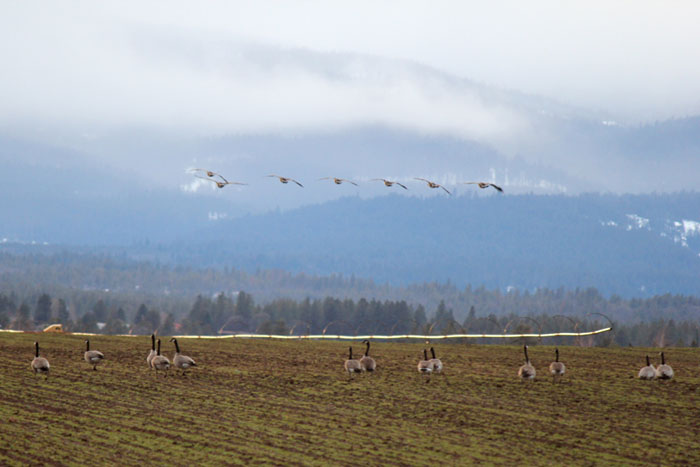 A flock of Canada Geese arrive at Rogue Farms to join their birds of a feather in the annual raids on our barley fields.