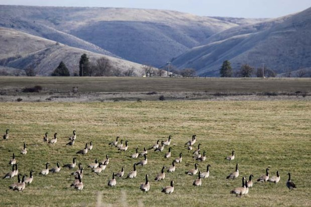 Canada Geese in our field of Risk™ malting barley.