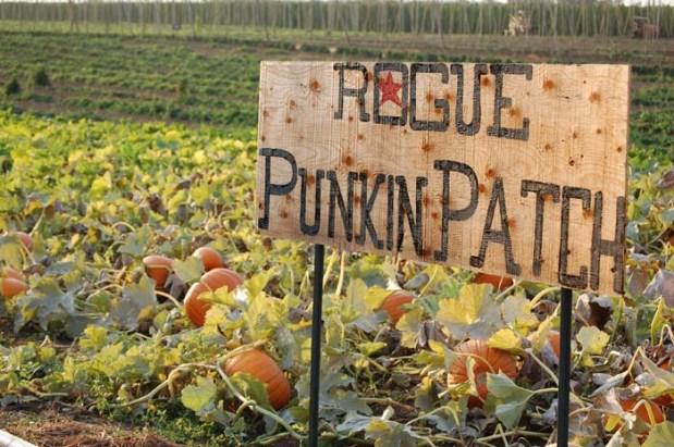 Our patch of Rogue Farms Dream Pumpkins.
