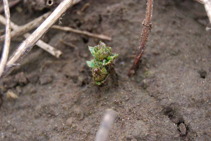 A new bine pokes through the dirt in the 42-acre hopyard at Rogue Farms.