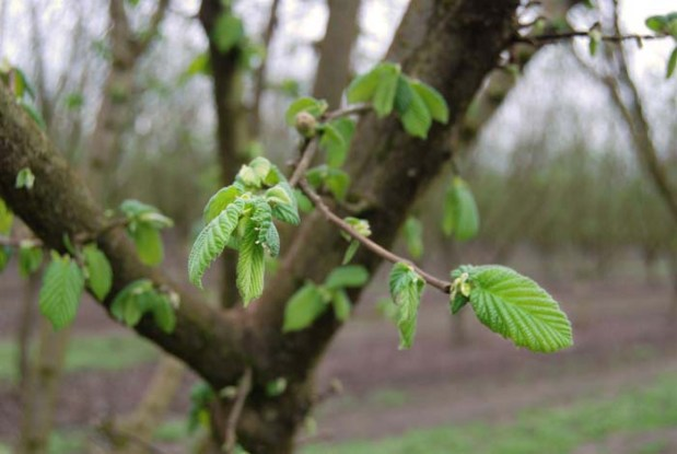 Spring in the hazelnut orchard of Kirk Family Filberts.