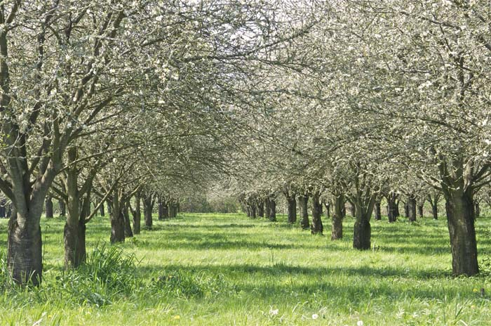 The cherry orchard next to Rogue Farms.